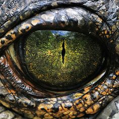 Close up image of the eye of a gharial Fast Crazy Nature Deals. Crocodile Eyes, Crocodile Animal, Crocodile Cake, Crocodile Costume, Eye Photography, Animal Photography, Eye Puns, Lizard Eye, Painting Art