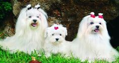 Breeds of small dogs : best small dog breeds: Maltese small dog breed