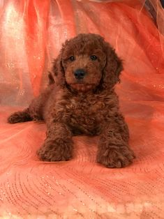 Goldendoodle puppy for sale in PHELAN, CA. ADN32456 on