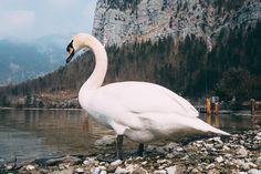 One day in fairy-tale Hallstatt — Один день в сказочном Халльштатте Nature, Animals, Naturaleza, Animales, Animaux, Animal Memes, Nature Illustration, Animal, Outdoors