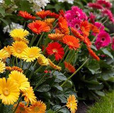 Gerbera Plants - Selection of THREE Beautiful Hardy Gerberas with Giant Daisy Flowers Fall Flowers, Cut Flowers, Daisy Flowers, Garden Beds, Garden Plants, Gerbera Plant, Low Growing Shrubs, Garden Express, Gardens