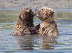 Dos jóvenes osos grizzly disfrutan en el agua mientras juegan en una pelea de 'colmillo a colmillo' en Alaska.