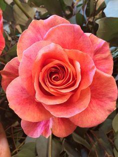 Coral rose!!!