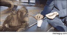 Entertaining an orangutan