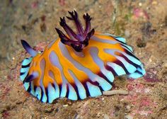 A very colorful nudibranch.