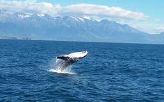 Breaching Humpback whale off the Kaikoura coastline