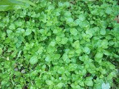 Chickweed is a great source of  vitamins, A, B1, B2, B6, B12, C, iron, calcium, potassium, phosphorus, zinc, manganese, sodium, copper, silica, beta carotene & flavanoids. helps increase circulation, is anti-inflammatory & decreases LDL cholesterol. used to treat stomach problems, blood disorders, arthritis, lung diseases, asthma, kidney disorders,urinary tract, scurvy, exhaustion. antibacterial and antiviral, treats bug bites, splinters, rashes, etc.
