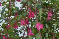 Fuchsia thymnifolia Fairy Garden Plants, Fairy Tree, Evergreen, Bloom, Miniatures, Spring, Minis