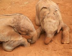 Africa | Ashaka and Kamok cuddle up in the sand, at the David Sheldrick Wildlife Trust nursery in Nairobi National Park | ©David Sheldrick Wildlife Trust