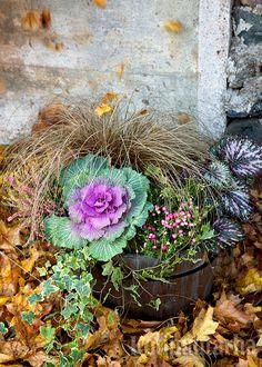 Syksyiseen asetelmaan tuovat väriä koristekaali, marjakanerva ja begonian lehdet. Cabbage, Vegetables, Cabbages, Vegetable Recipes, Brussels Sprouts, Veggies, Sprouts
