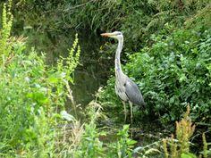 David Toft (@dmtoft) / Twitter Herons, Great Shots, Cocker Spaniel, Dog Walking, Wildlife Photography, The Locals, Dublin, Beautiful Pictures, David
