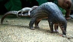 Pangolin and it's Pup
