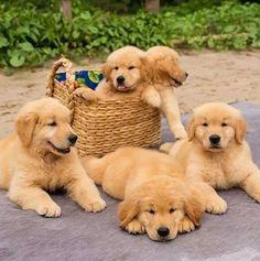 Golden Retriever Pups such a cutie