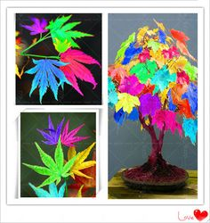 2017 Hot-sale!!!New Rare colorful maple tree seeds 40pcs/bag.Ornamental bonsai pot Plants.Christmas gift DIY for home garden. >>> Check this useful article by going to the link at the image. #GardenSupplies