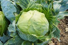 Interesting Cabbage Recipes - Vintage Recipes and Cookery Cabbage Soup Recipes, Cabbage Soup Diet, Cabbage Salad, Lazy Cabbage Rolls, Sour Cabbage, Green Cabbage, Cabbage Patch, Permaculture, Hardy Meals
