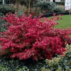 benved Euonymus Alatus, Garden Gadgets, Small Trees, Trees And Shrubs, Garden Planning, Garden Inspiration, Garden Ideas, Garden Plants, Outdoor Gardens