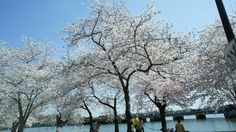 Cherry blossoms in Washington, DC (Tidal Basin) are in full bloom 4/9/2013