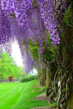 Cascading Purple Wisteria