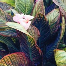 For more information about Canna 'Pink Sunburst' width=