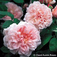 Pflanzen-Kölle Englische Rose 'Eglantyne' (Ausmak) David Austin. Prächtige Englische Rose mit schalenförmigen, wundervoll duftenden Blüten in herrlichem Pink.