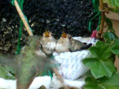 This is story of how a man-made hummingbird's nest was fashioned to save a hummingbird family from near disaster. The original nest was infested with bird mites which drove the baby chicks to abandon their nest. One of the baby hummers fell to the. Diy Bird Feeder, Humming Bird Feeders, Humming Birds, Flowers That Attract Hummingbirds, Hummingbird Nests, Chicken Incubator, Baby Chicks, Chicken Eggs, Bird Houses