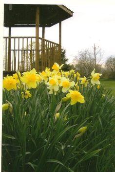 Yellow Spring Daffodils on Blank Photo Note Card by TheOldBarnDoor, $4.00