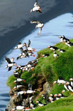 Primer vuelo frailecillos #Islandia