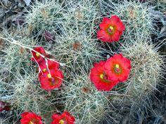 Small desert cactus in bloom.  So beautiful, so fleeting.