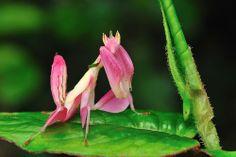 O orchid mantis (Hymenopus coronatus) é um louva-a-deus que que lembra muito as pétalas de uma orquídea.