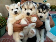 Free Dogs Near Me Pets & Animals Husky puppy, Siberian husky free cats for sale - Kittens Free Siberian Husky Puppies, Siberian Cats For Sale, Pomsky Puppies, Puppies And Kitties, Yorkie Puppy, Husky Puppy, Siberian Huskies, Funny Puppies, Kittens