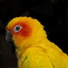 Sun Parrot by allanhowell1, via Flickr