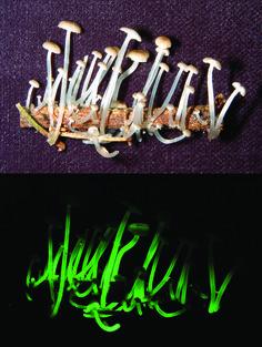 Bioluminescent Mushroom (Mycena luxaeterna) Common name: Eternal light mushroom