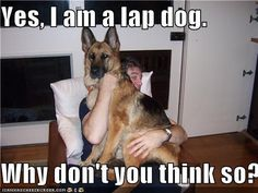 - Funny pictures and memes of dogs doing and implying things. If you thought you couldn't possible love dogs anymore, this might prove you wrong. Funny Animal Jokes, Funny Dog Memes, Cute Funny Animals, Funny Dogs, German Shepherd Memes, German Shepherd Puppies, German Shepherds, Cute Dog Pictures, Funny Animal Pictures