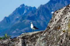 Skrova Lofoten, Earth, Bird, Places, Animals, Animales, Animaux, Birds, Animal