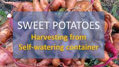 Harvesting Sweet Potatoes from Self-Watering Container