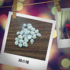 先日糸紡ぎ体験のときにいただいた綿の種。種蒔き時期はゴールデンウィークあたりだそうです。まだまだ先。。早く植えてみたい!#東亜 #東亜和裁 #toawasai #綿の種