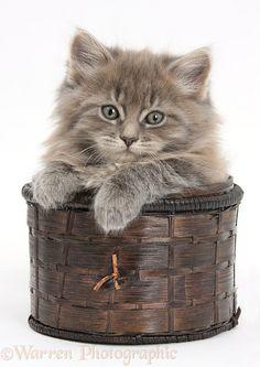 Maine Coon kitten, 7weeksold, in a basket
