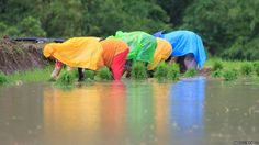 "Photo by Raizulli Nolasco: ""Rice farmers in Alilem, Ilocos Sur, Philippines, use plastic bags as raincoats while they plant."""