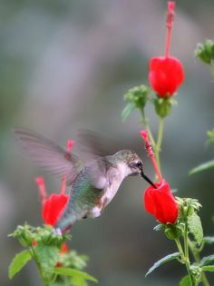 Ruby-throated hummer hits the Turk's Cap. (Nancy Nichols)