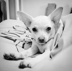 Minnie my chihuahua!