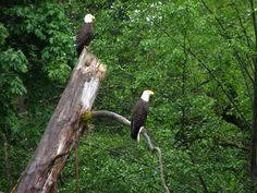 Hike the Pickering Trail along Issaquah Creek, and watch bald eagles hunt.