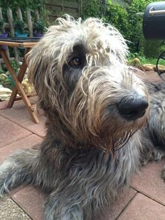 Big Dogs, Cute Dogs, Dogs And Puppies, Scottish Deerhound, Irish Wolfhounds, Scruffy Dogs, Irish Terrier, The Perfect Dog, Losing A Dog