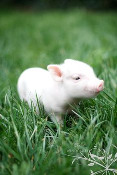 This will be the next member of the Bohall family! A teacup pot belly pig!