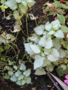 How to Grow and look after Dead Nettle, Yellow archangel, Cobbler's bench, and other Lamium Plant genus members in Your Garden. Partial Shade Plants, Sun Loving Plants, End Of Spring, Invasive Plants, Top Soil, Hardy Perennials, Plant Species, Wild Flowers, Seeds