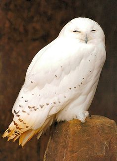 Snowy owl - that drowsy point between sleep and awake.