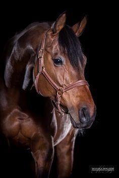 Pferde im Studio - professionelle Fotos vor schwarzem Hintergrund. Ihr Pferd im Studio - mit dem mobilen Studio ist es mir möglich zu Ihnen in den Stall zu kommen und Ihr Pferd auf schwarzem Hintergrund gekonnt in Szene zu setzten. Pferdefotograf Monika Bogner - Pferdefotograf Deutschland - professionelle Pferdefotografie