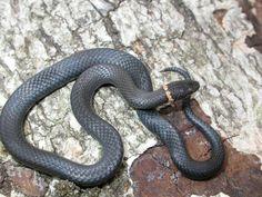 Ringneck Snake (Diadophis punctatus) - Herpedia