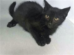 BAGHEERA - A1118574 - - Manhattan  ***TO BE DESTROYED 07/20/17***GREAT BEHAVIOR RATING…3 MONTH OLD KITTEN HAS A COLD AND NEEDS RESCUE. CAME IN WITH 5 SIBLINGS. (ALL LISTED TONIGHT). -  Click for info & Current Status: http://nyccats.urgentpodr.org/bagheera-a1118574/