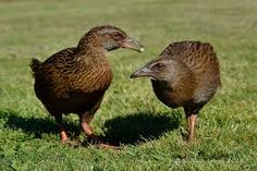 weka nz - Google Search Stained Glass, Google Search, Wood, Animals, Animales, Woodwind Instrument, Animaux, Timber Wood, Wood Planks
