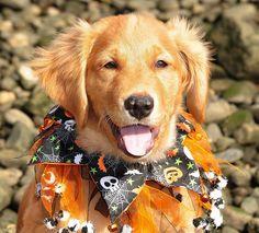 Golden Retriever Pup. Trick or Treat